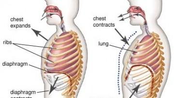 diaphragm function – citybeauty, Human body