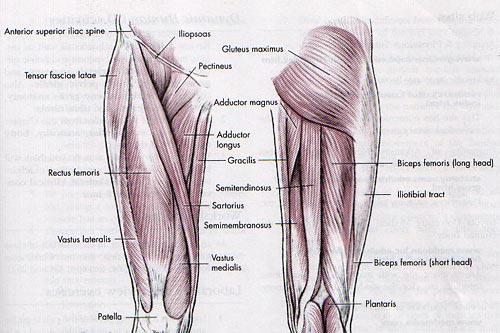 Hip Musculature