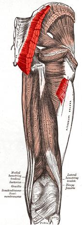 Posterior Hip Musculature