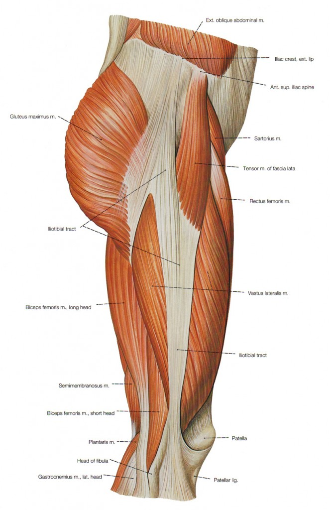Lateral Thigh Anatomy